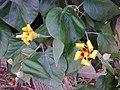 Mahoe flowers.jpg
