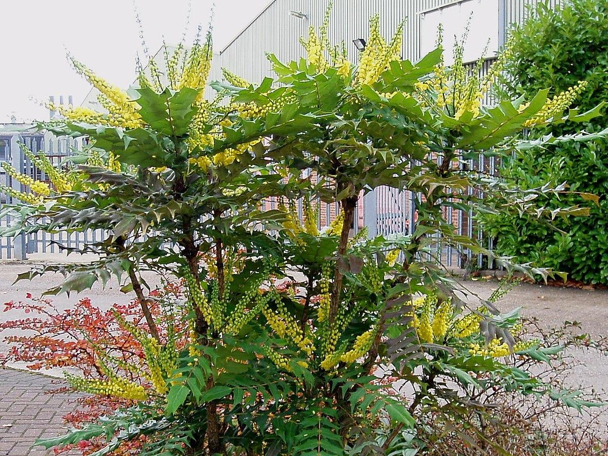 Mahonia media wikipedia - Les plus beaux arbustes persistants ...
