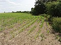 Maize plants, Nuneham Courtenay - geograph.org.uk - 192221.jpg