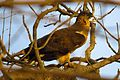 Male Honey Buzzard in Gir Forest.jpg
