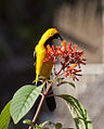 Male Hooded Oriole (4354292521).jpg