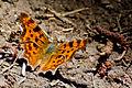 Male comma butterfly.jpg