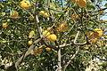 Malta - Siggiewi - Triq Mons Mikel Azzopardi - Limestone Heritage - garden 13 ies.jpg