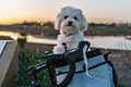 Maltese with Short Hair in Bike Basket.jpg