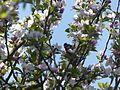 Malus domestica & Cyanistes caeruleus Josselin 01.jpg