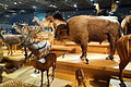 Mammal display - National Museum of Nature and Science, Tokyo - DSC07295.JPG