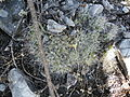 Mammillaria longimamma (5776745461).jpg