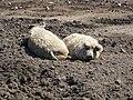 Mangalicák a sárban az állatsimogatóban (mangalitsas in the mud in small zoo) - panoramio.jpg
