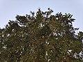 Mango flowering.jpg