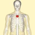 Manubrium frontal.png