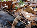 Marasmius epiphyllus 99783508.jpg