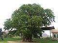 Mariam Dearit Madonna of the Baobab.jpg