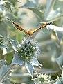 Mariposa de los cardos - papallona dels cards - Painted Lady - Vanessa cardui 02 (230416079).jpg