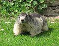 Marmota marmota 04 by Line1.jpg