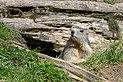Marmota marmota Tauerntal 20160807 B02.jpg