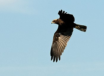 English: Marsh Harrier Marsh Harrier at RSPB L...