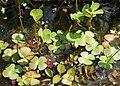 Marsilea quadrifolia kz2.jpg