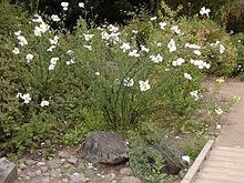 Romneya wikipedia matilija poppy at strybing arboretum san francisco mightylinksfo