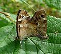 Mating Speckled Woods. Pararge aegeria - Flickr - gailhampshire.jpg