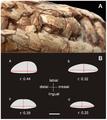 Maxillary teeth of sauropodomorphs.png
