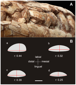 Maxillary teeth of sauropodomorphs.png