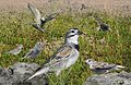 McCown's Longspur From The Crossley ID Guide Eastern Birds.jpg