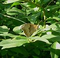 Meadow Brown. Maniola jutina - Flickr - gailhampshire.jpg