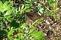 Meadow brown (Vol) (35787611301).jpg