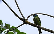 Megalaima flavifrons -Sinharaja Forest Reserve, Sri Lanka-8.jpg