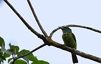 Megalaima flavifrons -Sinharaja Forest Reserve, Sri Lanka-8