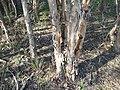 Melaleuca alternifolia bark.jpg
