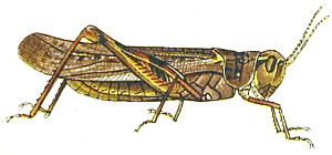 Rocky Mountain locust - Illustration from 1902