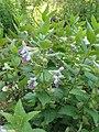 Melittis melissophyllum kz01.jpg