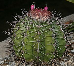 Melocactus bahiensis (Lützelburg) Br. & R. with fruits.jpg