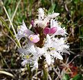 Menyanthes trifoliata. Bog Bean - Flickr - gailhampshire.jpg