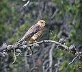 Merlin ( Falco columbarius ) - panoramio.jpg