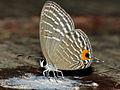 Metallic Caerulean (Jamides alecto ageladas) on bird dropping (15310602877).jpg