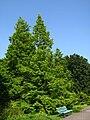 Metasequoia glyptostroboides PAN.jpg