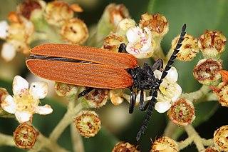 Lycidae Family of beetles