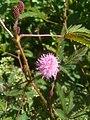 Mimosa pudica (Fabaceae) 07.jpg