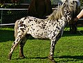 Mini-Appaloosa Stute.jpg