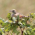Mirafra angolensis, Tembe, Birding Weto, a.jpg