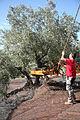 Moderne olivenernte.JPG