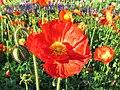 Mohn Blumen - panoramio - Baden de.jpg
