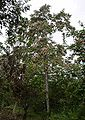 Moho tree flowering belize.JPG
