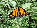 Monarch (Danaus plexippus) (6849736006).jpg