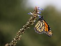 Monarch butterfly (70387).jpg