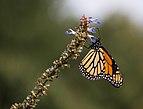 Monarch butterfly (70387).jpg