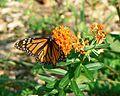 Monarch butterfly insect on butterflyweed flower.jpg