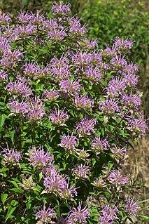 <i>Monarda fistulosa</i> Species of flowering plant